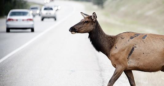 Kā rīkoties, ja ar transportlīdzekli uzbraukts dzīvniekam