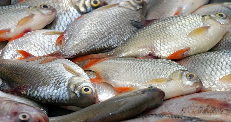 Ražošana akvakultūrā Latvijā novecojusi un neefektīva