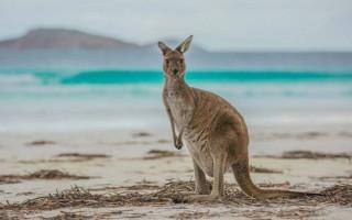 Ķenguri ieņem golfa laukumu Austrālijā